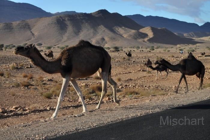 Desert-animals