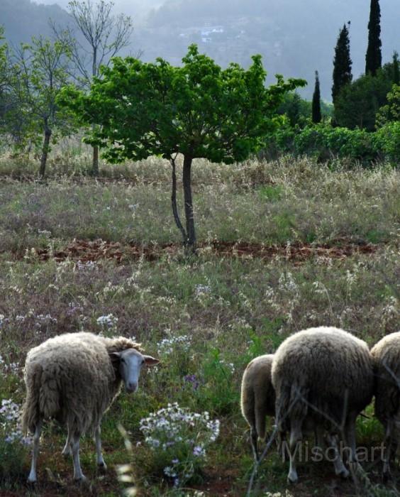 San-Mateo-sheep