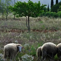 San-Mateo-sheep