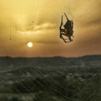 Sunset-spider