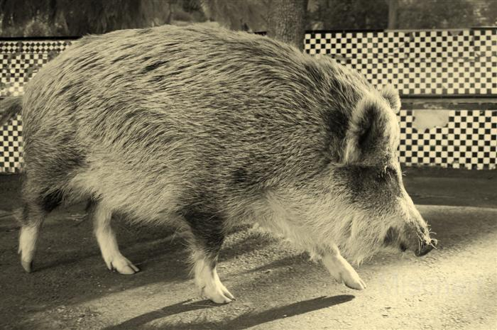 photography-animals-wildboar
