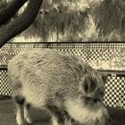 photography-animals-boar
