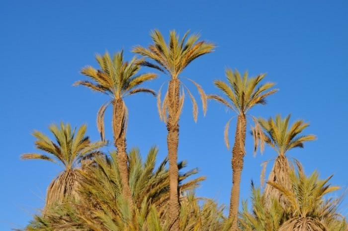 Tower-palms