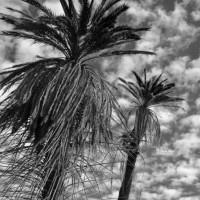 Dancing-palms