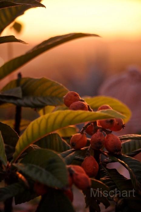 Sunset-nispero