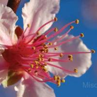 photography-flowers-almond-blossom