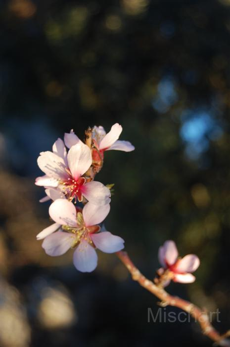 photography-flowers-almond
