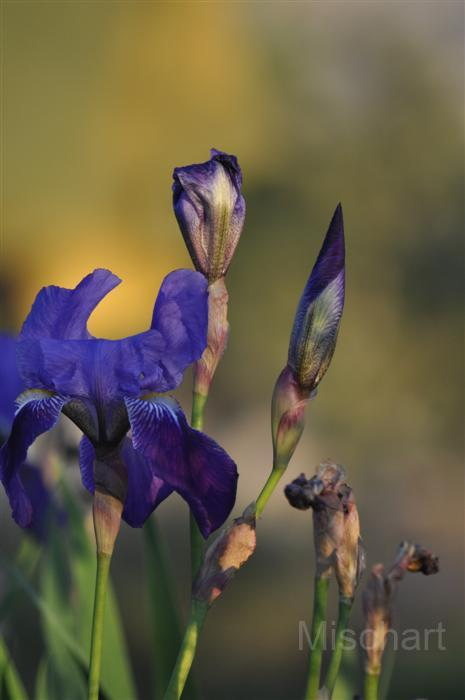 photography-flowers-lirio
