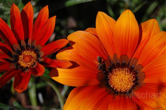 photography-flowers-orange