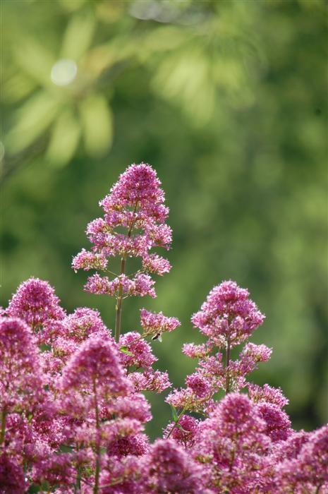 photography-flowers-pink