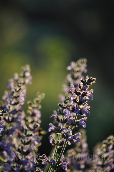 photography-flowers-sage