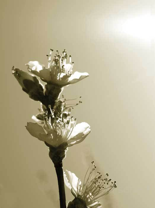 photography-flowers-sepia