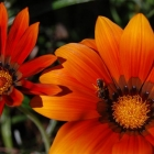 photography-flowers-orange