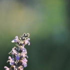 photography-flowers-sage-plant