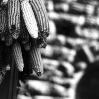 photography-art-sweetcorn