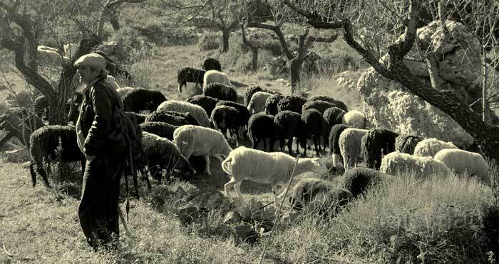 photography-art-sheep