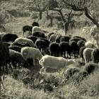 photography-art-sheep